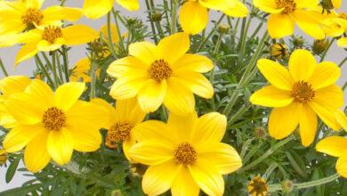Photo of Cura a base di erbe Bidens ferulifolia o verbena gialla