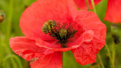Photo of Cura con Papaver rhoeas, Ababol o Poppy