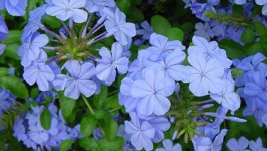 Photo of Cura con piante di Ceratostigma plumbaginoides o Plumbago falso