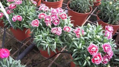 Photo of Cura del Dianthus caryophyllus o pianta di garofano