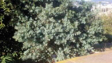 Photo of Cura del Podocarpus elongatus o Breede River Yellowwood