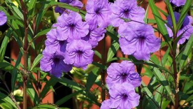Photo of Cura della brittoniana di Ruellia o petunia messicana
