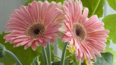 Photo of Cura della Gerbera jamesonii o margherita africana