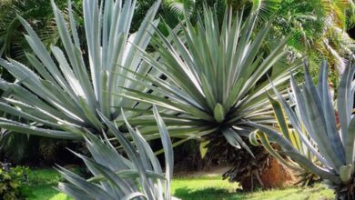 Photo of Cura della pianta Agave macroacantha o Maguey messicano