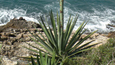 Photo of Cura della pianta Agave shawii o Agave de la costa