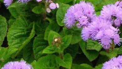 Photo of Cura della pianta Ageratum houstonianum, Damasquino o Agerato
