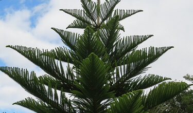 Photo of Cura della pianta Araucaria heterophylla o Pino di Norfolk