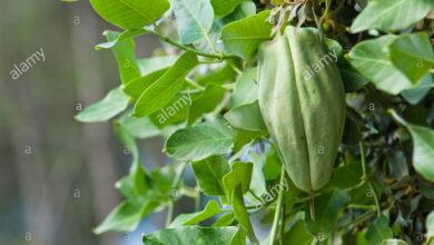 Photo of Cura della pianta Araujia sericifera o Miraguano