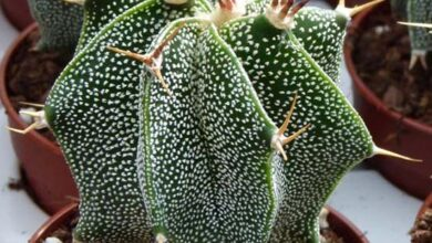 Photo of Cura della pianta Astrophytum ornatum o Star Cactus
