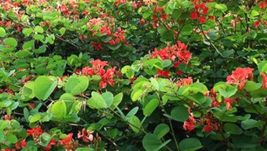 Photo of Cura della pianta Bauhinia galpinii o Bauhinia rossa