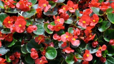 Photo of Cura della pianta Begonia grandis o Begonia robusta