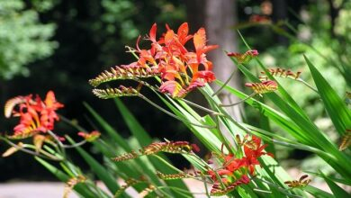 Photo of Cura della pianta bulbosa Crocosmia o Montbretia