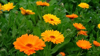 Photo of Cura della pianta Calendula officinalis, Calendula o Calendula o Calendula