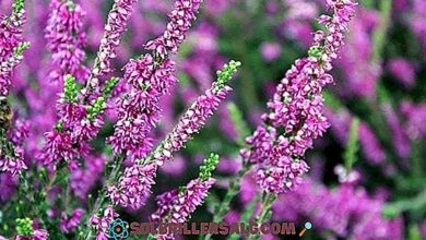 Photo of Cura della pianta Calluna vulgaris, Heather o Brecina