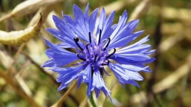 Photo of Cura della pianta Centaurea cyanus, Aciano o Azulejo