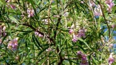 Photo of Cura della pianta Chilopsis linearis o Salice del deserto