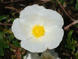 Photo of Cura della pianta Cistus parviflorus o Cistus cymosus