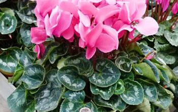 Photo of Cura della pianta Cyclamen persicum o Ciclamen
