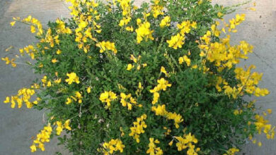 Photo of Cura della pianta Cytisus racemosus, Citiso o Hiniesta