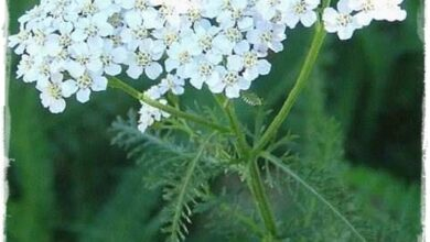 Photo of Cura della pianta di Achillea coarctata o Achilea