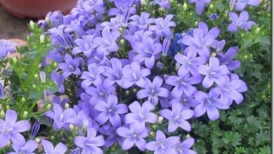 Photo of Cura della pianta di Campanula o Campanilla