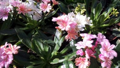 Photo of Cura della pianta di Lewisia cotiledone o Levisia