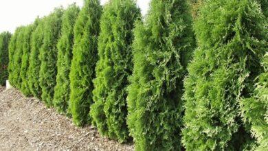 Photo of Cura della pianta di Thuja, Tuja o Tuja