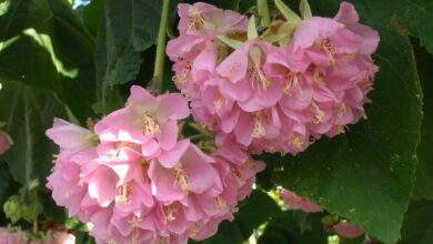 Photo of Cura della pianta Dombeya burgessiae o Dombella rosa