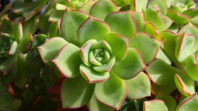 Photo of Cura della pianta Echeveria agavoides o Echeveria
