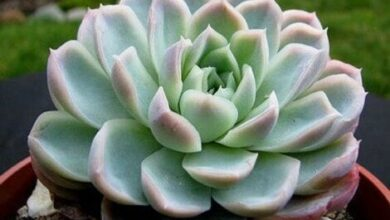 Photo of Cura della pianta Echeveria elegans o Rosa d'Alabastro