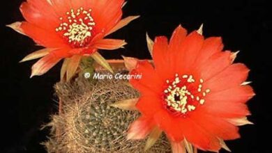 Photo of Cura della pianta Echinopsis aurea o Lobivia aurea