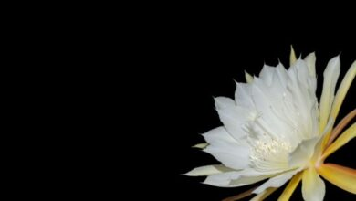 Photo of Cura della pianta Epiphyllum ackermannii o piuma di Santa Teresa