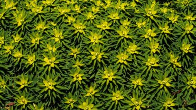 Photo of Cura della pianta Euphorbia bivonae o Platera