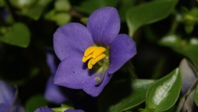 Photo of Cura della pianta Exacum affine o viola persiana