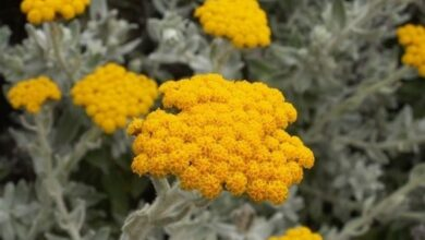 Photo of Cura della pianta Helichrysum cymosum o tappeto dorato