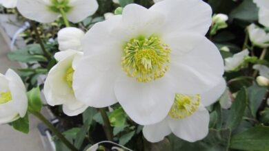 Photo of Cura della pianta Helleborus, Heleborus o Eleborus