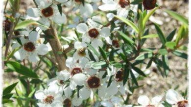 Photo of Cura della pianta Leptospermum scoparium, Manuka o Leptospermo