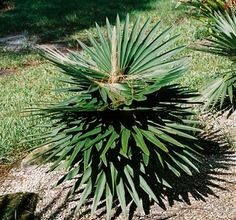 Photo of Cura della pianta Macrozamia communis o Burrawang