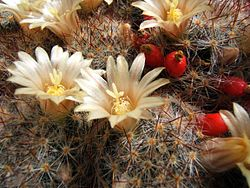 Photo of Cura della pianta Mammillaria backebergiana o Biznaga
