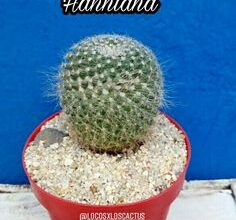 Photo of Cura della pianta Mammillaria pringlei o Biznaga