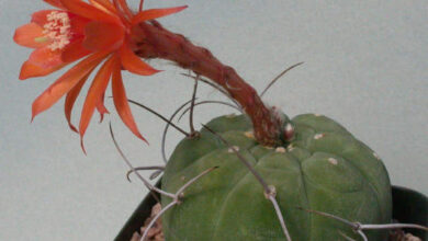 Photo of Cura della pianta Matucana madisoniorum o Borzicactus madisoniorum