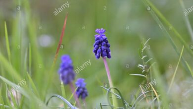 Photo of Cura della pianta Muscari neglectum o Nazareno