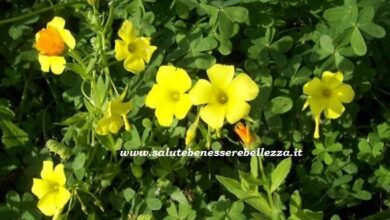 Photo of Cura della pianta Oxalis corniculata o Hallelujah