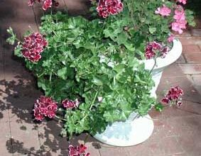 Photo of Cura della pianta Pelargonium grandiflorum o Geranio pensamiento
