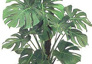 Photo of Cura della pianta Philodendron selloum o Filodendro paraguayo