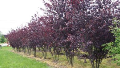 Photo of Cura della pianta Prunus cerasifera pisardii o prugna rossa