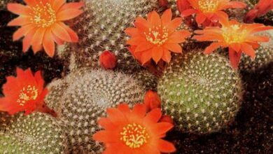 Photo of Cura della pianta Rebutia minuscula o Rebutia senilis
