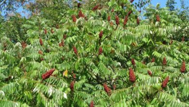 Photo of Cura della pianta Rhus typhina, Rus o Virginia sumac
