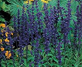 Photo of Cura della pianta Salvia farinacea o Salvia azul