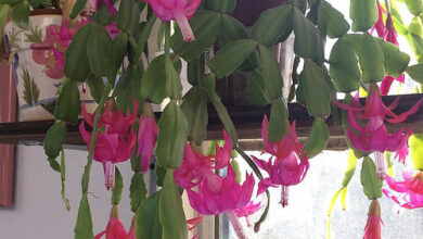 Photo of Cura della pianta Schlumbergera truncata o cactus di Natale